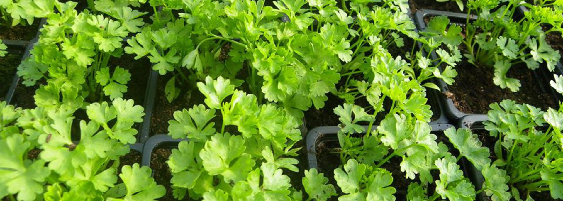 Livraison jeunes plants potager - Crédit photo Mod Kozh