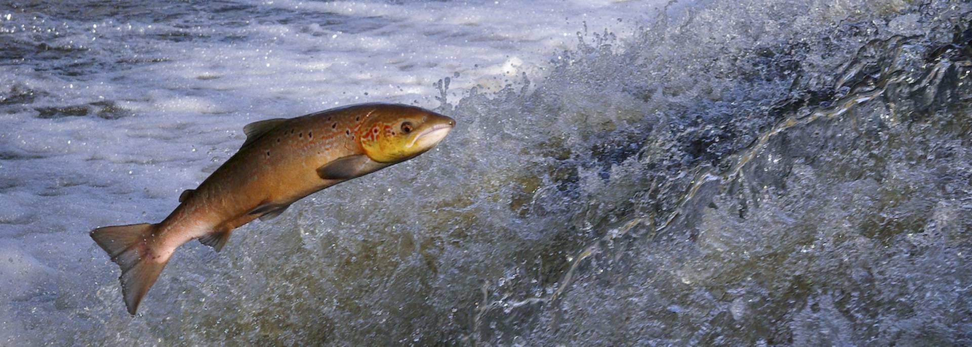 Saumon remontant la rivière du Léguer ©S. Jouon