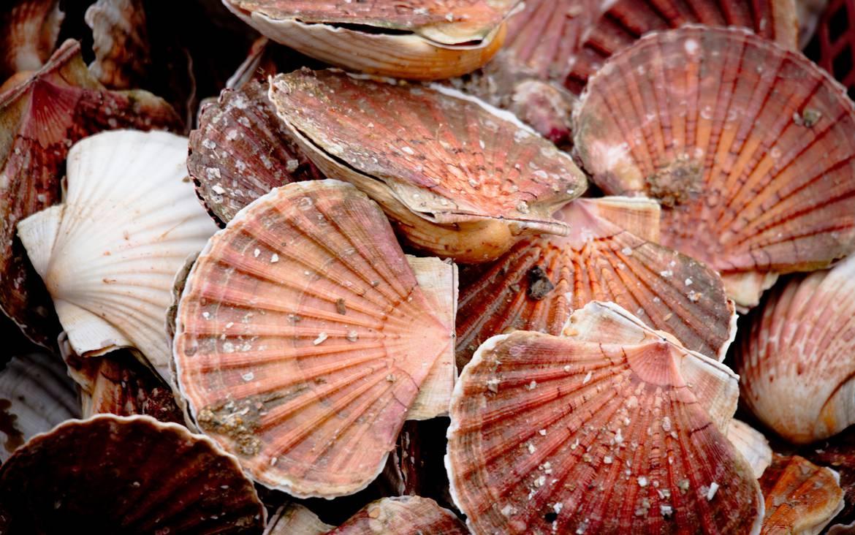 Coquilles Saint Jacques en Baie de Paimpol ©N. Job