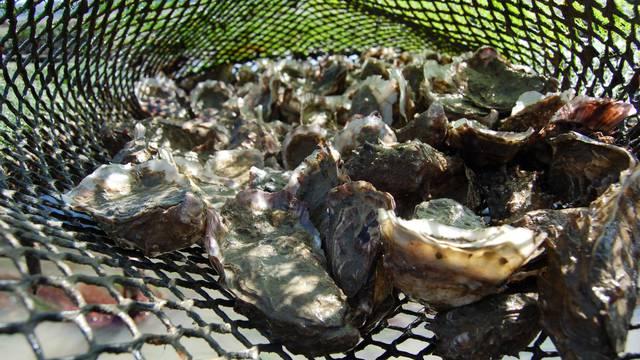 Huître creuse de la Baie de Paimpol ©Ferme Arin