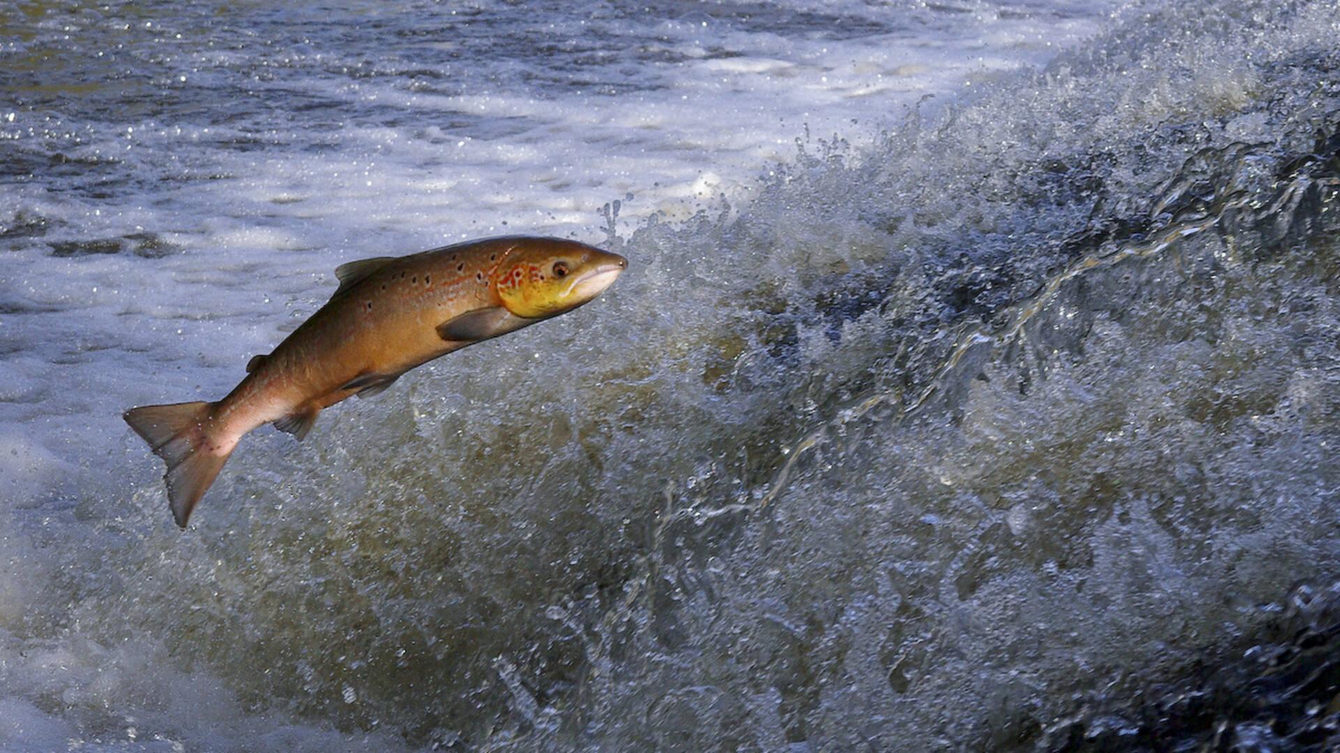 Saumon remontant la rivière dans la Vallée du Léguer ©Déclic Armor